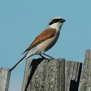 Birds Pentet Cendet Predator Smart Aingindra